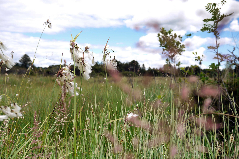 Wollgras weiss beim Kirchsee