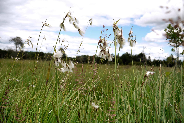 Wollgräser im Moor Ellbach Moor
