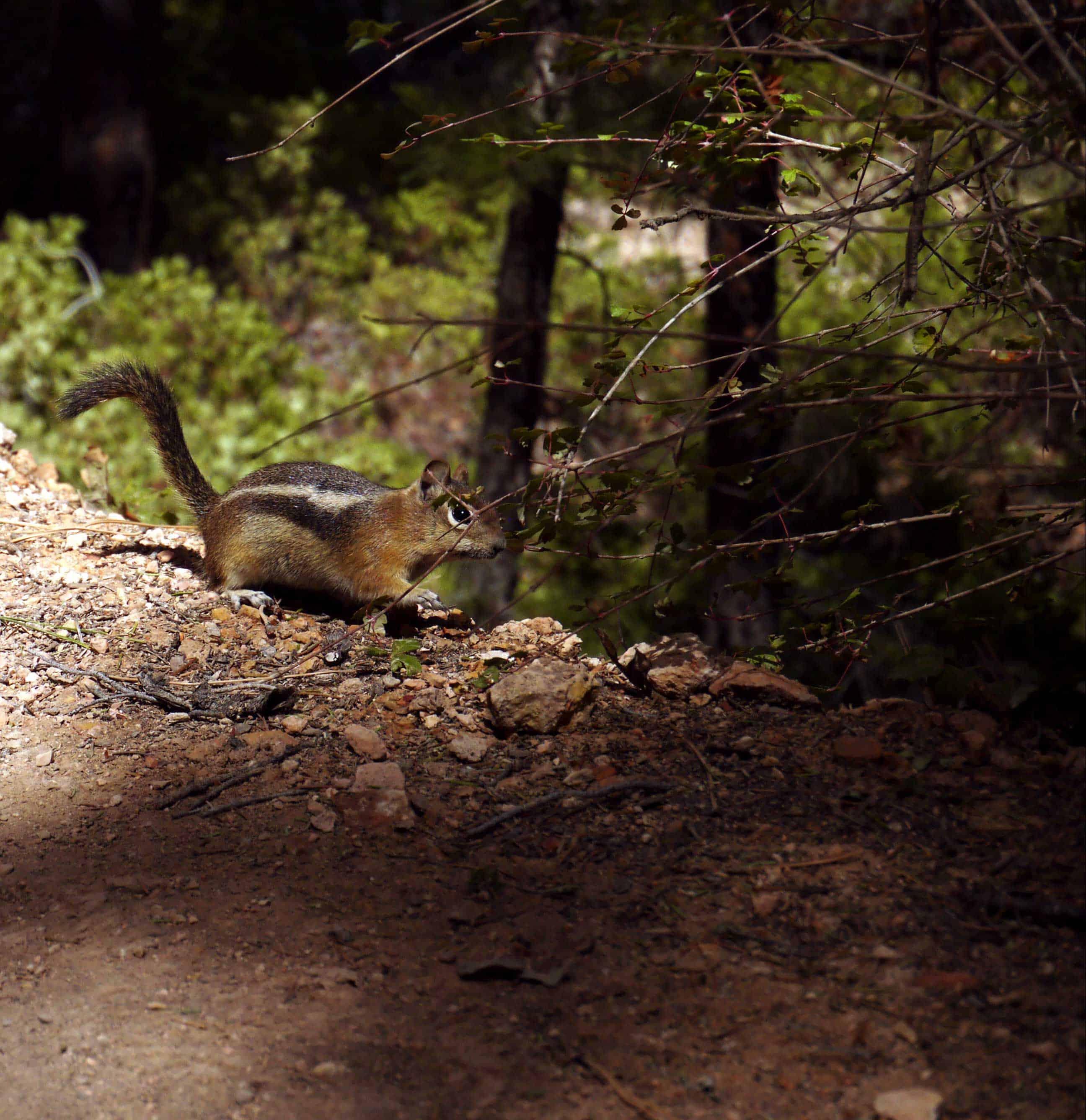 Nagetier im Wald