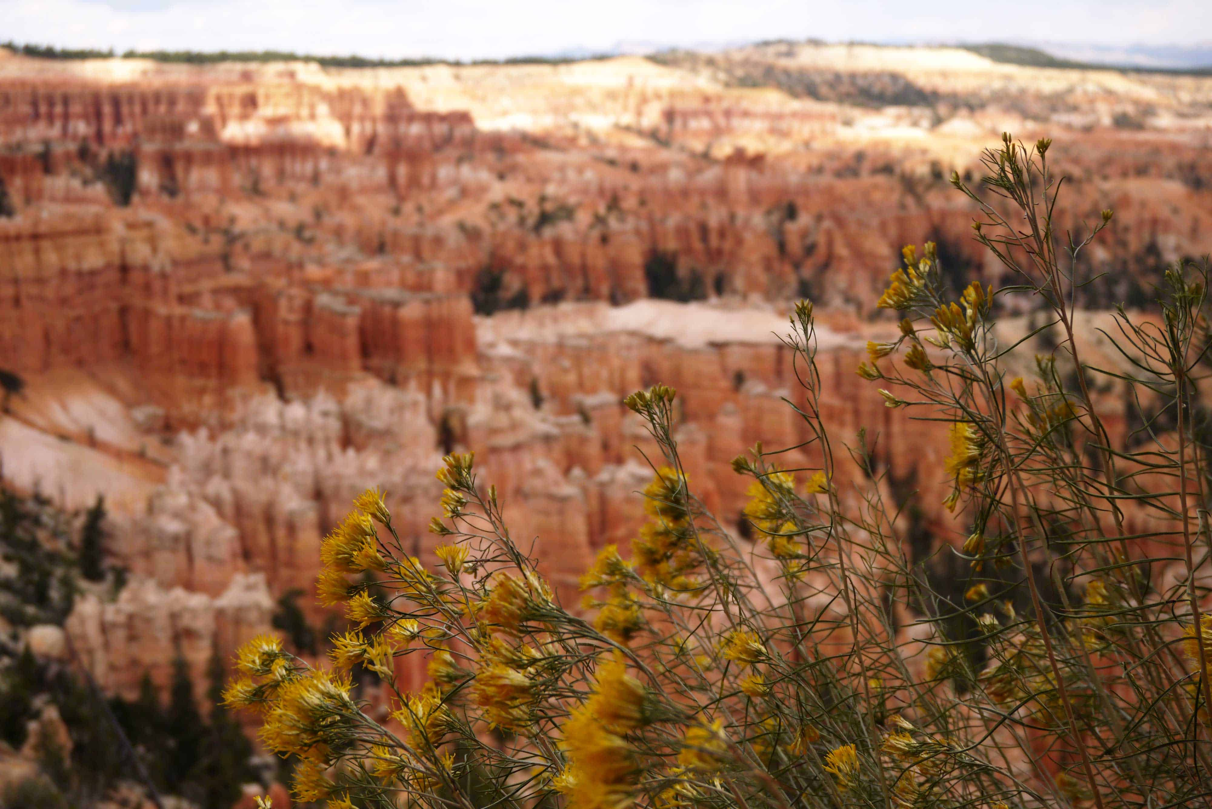 Blumen im Bryce Canyon