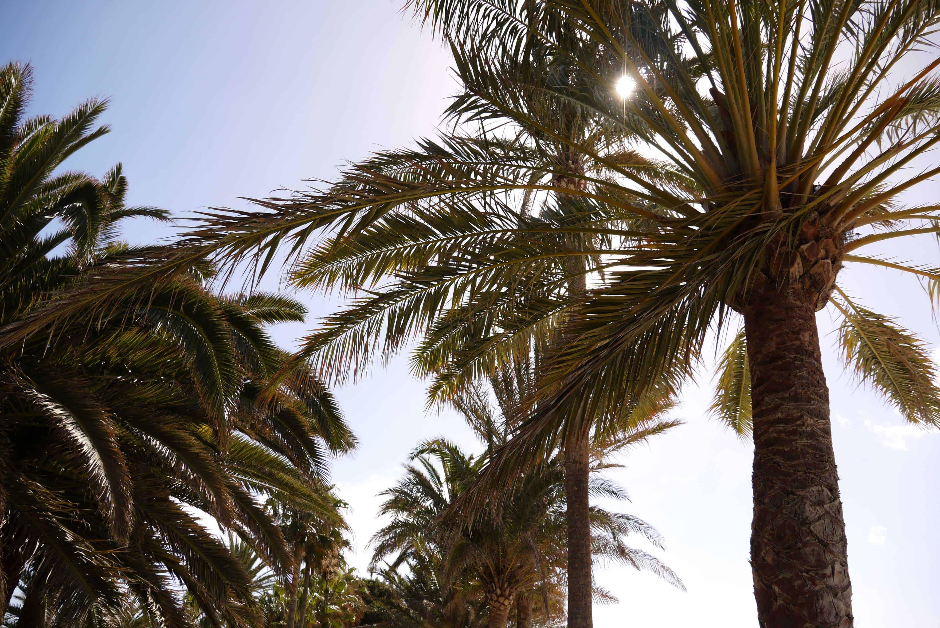 Palmen an der Strandpromenade in Morro Jable